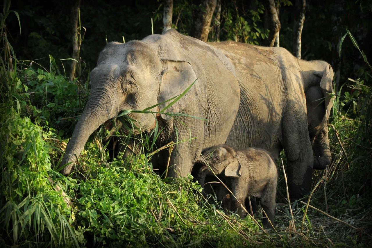 Slon bornejský je jeden z nejmenších poddruhů slona indického